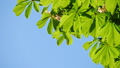 Close-up of a chestnut tree leaves, on a sunny day. 48810945