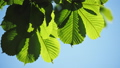 Close-up of a chestnut tree leaves, on a sunny day. 48810946
