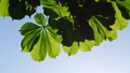 Close-up of a chestnut tree leaves, on a sunny day. 48810949