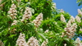 Close-up of a chestnut inflorescence. a chestnut tree leaves, on a sunny day. Shot in 10bit 422 48810952