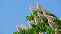 A crown of a blossoming chestnut tree on a sunny day with flowers and green leaves. 48810954