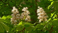 Close-up of a chestnut inflorescence. a chestnut tree leaves, on a sunny day. Shot in 10bit 422 48810959