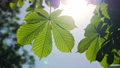 Close-up of a chestnut tree leaves, on a sunny day. 48810961