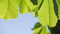 Close-up of a chestnut tree leaves, on a sunny day. 48810969
