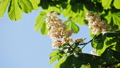 Close-up of a chestnut inflorescence. a chestnut tree leaves, on a sunny day. Shot in 10bit 422 48810970
