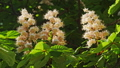 Close-up of a chestnut inflorescence. a chestnut tree leaves, on a sunny day. Shot in 10bit 422 48810973