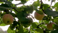 Movement Of The Camera Of An Apple Tree With Ripe Apples Where The Sun Rays 48837602
