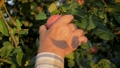 Hands Of The Old Farmer Collected The Tree Ripe Apple Close Up Slow Motion 48839048