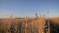 Old Caucasian Man Farmer In A Cowboy Hat Goes On The Field Of Crops At Sunset 48841285