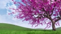 Cherry blossoms and falling petals 3D animation 48874321