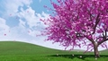 Blooming sakura cherry tree with falling petals 48874322