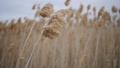 Common reed grass panicles swaying in the wind. 48879102