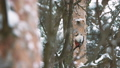 Great spotted woodpecker, Dendrocopos major, knocks on the bark of a tree, extracting edable insects 48879386