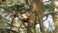 Great spotted woodpecker, Dendrocopos major, knocks on the bark of a tree, extracting edable insects 48879395