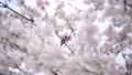 벚꽃과 직박구리 -6031604 48975427