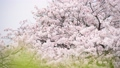 벚꽃과 직박구리 (음성 있음) -6031657 48975432