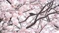 벚꽃과 직박구리 -6031663 48975434