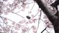 벚꽃과 직박구리 -6031680 48975436