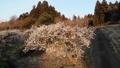 梅の花と蔵王 ドローン撮影 48988183