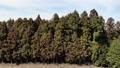 花粉シーズンの杉 48988184