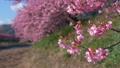 Kawazu櫻花(焦點飼料)在Kawazugawa河岸的風中搖曳 49045332