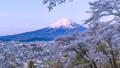 富士山と満開の桜、山梨県富士吉田市孝徳公園にて 49066874