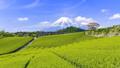 富士山と茶畑、静岡県富士市今宮にて 49163191
