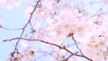 桜 49288207