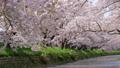 満開の桜と五条川 49289179