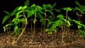 Marijuana Plant Growing on a Black Background 49320821