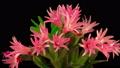 Timelapse of Blooming Cactus 49320822