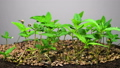 Marijuana Plant Growing on a Light Background 49320823