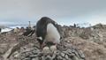 Adult gentoo penguin take care egg camera view 49381401