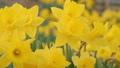 一面に咲く水仙の花 春 黄色 - スライド 右から左 49387223