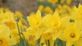 一面に咲く水仙の花 春 黄色 - スライド 左から右 49387225