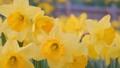 一面に咲く水仙の花 春 黄色 - スライド 右から左 49387226