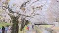 善福寺川緑地の桜(東京都:杉並区) 49388890