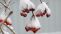 Branches of red berries of viburnum under the snow 49413268