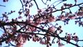 咲きはじめの桜 49418614