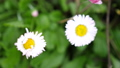 Beautiful blooming daisies in the garden. Summer time. slow motion. 3840x2160 49447704