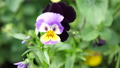 Beautiful blooming pansies in the garden. Summer time. slow motion. 3840x2160 49447735