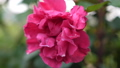 Beautiful blooming rose in the garden. Summer time. slow motion. 3840x2160 49448407