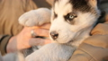 Woman holds in her arms little husky puppy 49457855