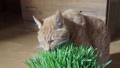 ชาเสือกินหญ้าแมว 49492762