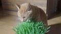 ชาเสือกินหญ้าแมว 49492763