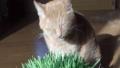 ชาเสือกินหญ้าแมว 49493081