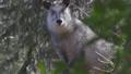自然豊かな青葉山のカモシカ001 49505535