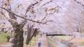 善福寺川緑地の桜(東京都:杉並区) 49509397