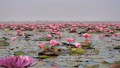 Nature pink water lilly flower in the big river 49559422