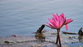 Nature pink water lilly flower in the big river 49559423